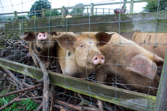 wee piggies