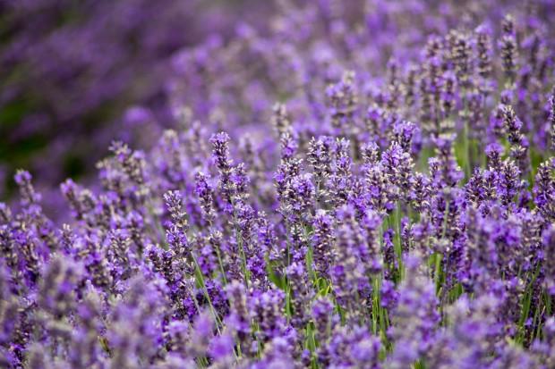 Visiting Hitchin Lavender | BakingBetsy.com