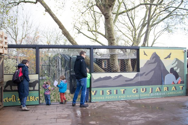 Visiting the lions at London Zoo