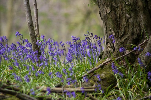 Exploring a bluebell wood