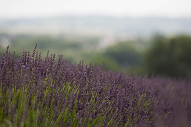 Visiting the Hitchin Lavender fields